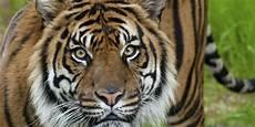 adopt a sumatran tiger smithsonian s national zoo