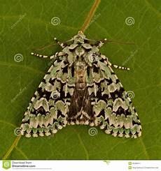 merveille du jour dichonia aprilina moth royalty free stock image cartoondealer 45368440