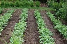 kartoffelanbau im garten serie queckenbek 228 mpfung in kartoffeln teil i 171 wir sind