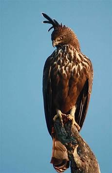 Cara Gambar Burung Elang Jawa