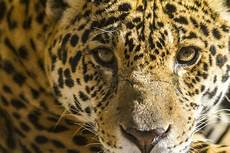s wall threatens last jaguars in the u s