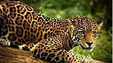 jaguar ou leopard quelle est la diff 233 rence entre jaguar l 233 opard et gu 233 pard