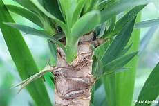 Yucca Palme Schneiden Bl 228 Tter Abschneiden Ableger Zur