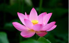 lotus hd wallpaper 73 images