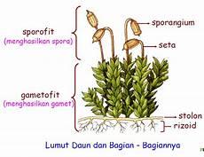 Tumbuhan Lumut Bryophyta Harsiwi89