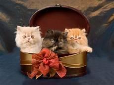 regalo gattini persiani gattini persiani abbastanza svegli in contenitore di