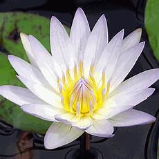 cycle of the lotus flower trivia koloa jodo nelumbo lutea american lotus wildflower seed