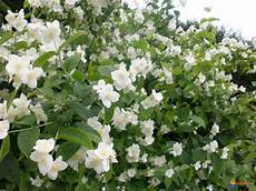 arbuste à fleurs blanches odorantes buisson fleurs blanches odorantes la pilounette