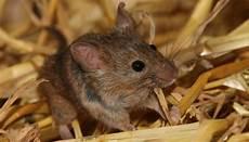 Mäuse Im Haus - m 228 use max planck gesellschaft