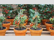 how often to water tomato seedlings