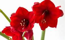 fiori bulbo amaryllis il bulbo da far fiorire anche a natale leitv