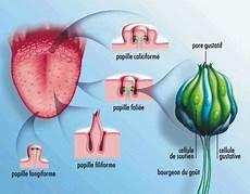 odeur nez ammoniaque papille gustative