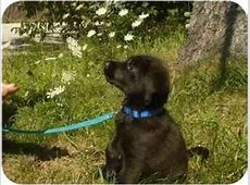 Timothy   Adopted Puppy   Barrie, ON   Bouvier des