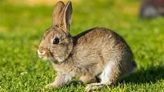 das ist der unterschied zwischen hase und kaninchen