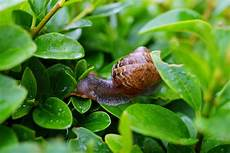 snail on green leaf in up photography 183 free stock photo
