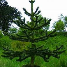 winter sale monkey puzzle tree araucaria araucana