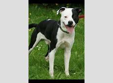 Paul (Staffordshire Terrier, Unbekannt) ? MeinMischling.de