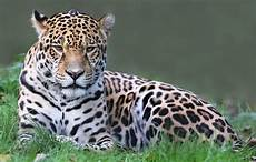 what is the difference between leopard panther jaguar and quora