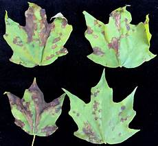 landscape maple anthracnose umass center for