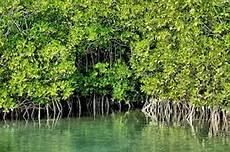9 Ciri Ciri Hutan Magrove Dan Penjelasannya Ilmugeografi