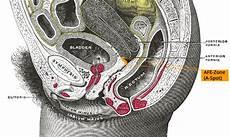 erogene zone mann anterior fornix erogenous zone wikiwand