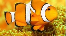 Ikan Badut Quot Nemo Quot Sudah Ada Sejak Era Dinosaurus