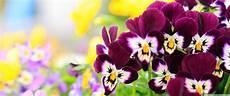 Flower Wallpaper by Pansies Flowers 4k Hd Desktop Wallpaper For 4k Ultra Hd Tv