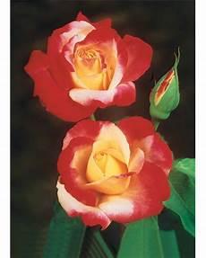 rosier buisson pas cher rosiers pas cher jardinerie en ligne willemse jardin