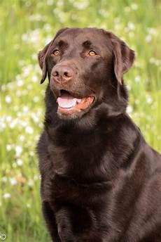 Hunde Ausmalbilder Labrador Labrador Braun Foto Bild Tiere Haustiere Hunde
