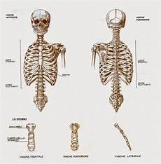 ossa della gabbia toracica canevassa anatomia artistica l apparato scheletrico