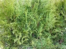 thuja brabant pflanzen lebensbaum thuja brabant heckenpflanzen g 252 nstig bestellen