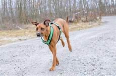 comment mettre un harnais 224 chien toutoupourlechien