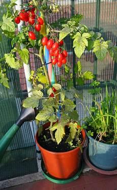 tomates rouges dans des pots sur le balcon photo stock