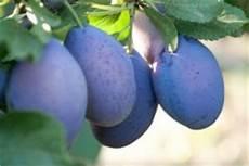 Pflaumenbaum Schneiden 187 Die Besten Tipps F 252 R Jeden Schnitt
