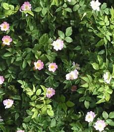 dove si comprano i fiori di bach fiore di bach elicriso it