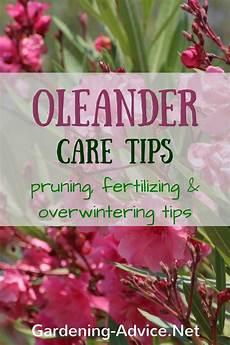 oleander pflege und schnitt oleander plant care
