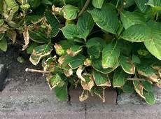 Hortensien Krankheiten Blätter - hortensien und andere pflanzen mit braunen bl 228 ttern