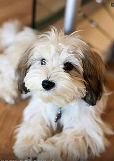 top 5 best dog breeds for small apartment dogs and puppies dogs havanese dogs havanese