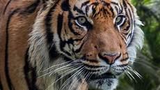 Harimau Sumatera Alih Fungsi Hutan Dorong Harimau Turun