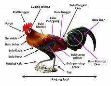 Ayam Hutan Merah Nenek Moyang Ayam Peliharaan Cakrawala