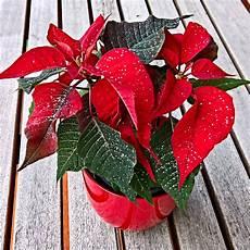 Fleur De Noel Free Images Leaf Petal Decoration Bright