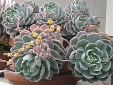 plante succulente entretien 17 best echeverias images on succulents