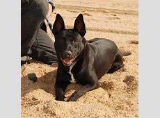 Ficha de Anubis (Un perro de Badger)   Perros.com