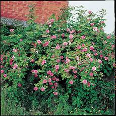 rosier liane sans epine rosier sans 233 pine d 233 finition et exemples roses guillot