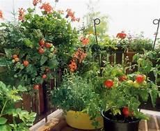 tomates en el balc 243 n
