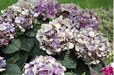 hortensien blätter werden braun was hat meine hortensie fotos mein sch 246 ner garten forum