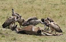 il banchetto dei corvi carcasse di bestiame il banchetto dei rapaci i miei animali