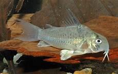 Makanan Ikan Hias Corydoras jenis ikan hias corydoras dunia air