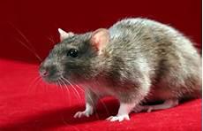 Comment Faire Pour Se D 233 Barrasser Des Rats Taupier Sur