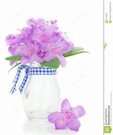rododendro in vaso rododendro in un vaso fotografia stock immagine 31127532